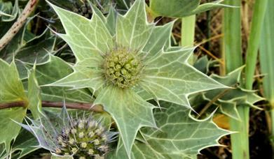 Sea Holly-Pabbay Beach