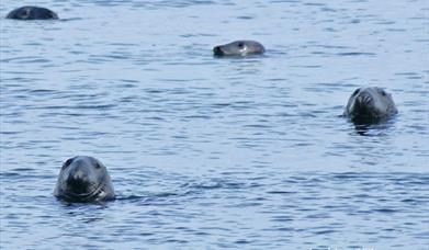 Grey Seal - Stornoway Harbour