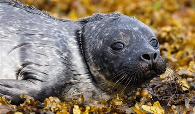 Common Seal - Rubha Ardvule