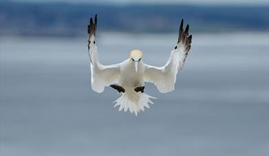 Northern Gannet-Hushinish
