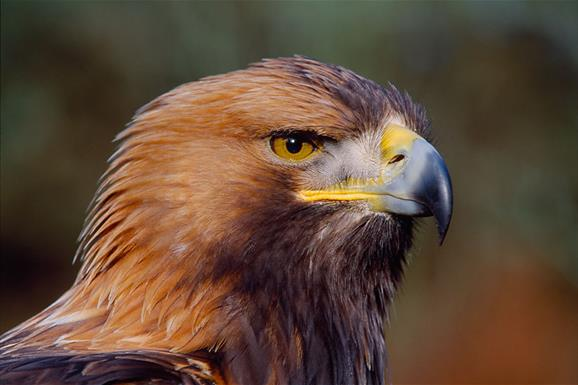 Golden Eagle © Laurie Campbell