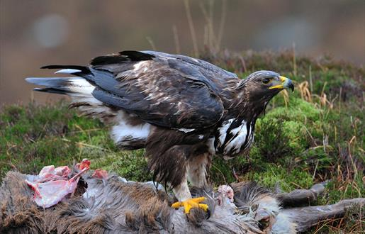 Golden Eagle - Kildonan Glen
