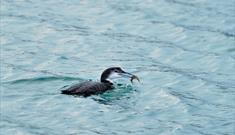 Great Northern Diver-Sound of Taransay