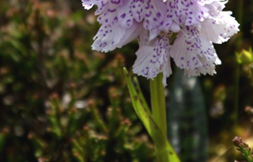 Heath spotted Orchid-Huisinis
