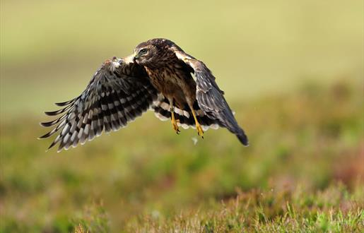 Hen Harrier © Lauries Campbell