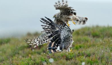 Hen Harrier © Laurie Campbell
