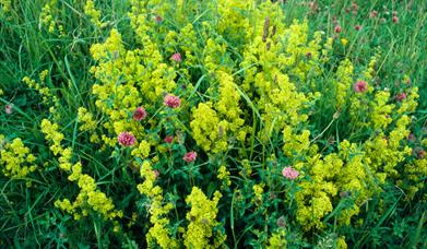 Lady's Bedstraw-Dalmore