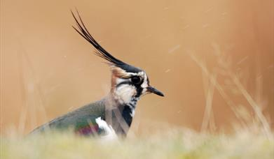 Lapwing - Northton Machair