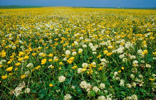 Machair Flowers - Howmore