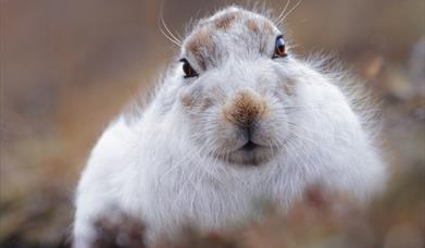 Mountain Hare - Toddun