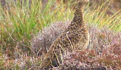 Red Grouse-Ben Tarbet