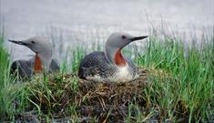 Red-throated Diver-Loch Langavat