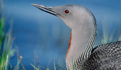 Red Throated Diver - Lochmaddy Bay