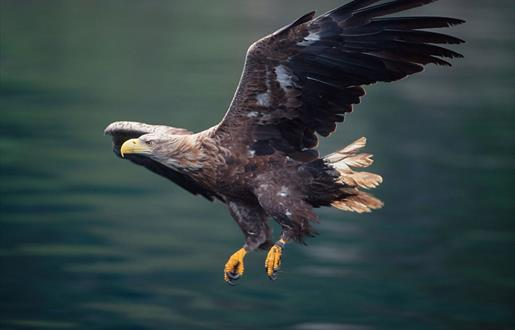 White-tailed Sea Eagle © Laurie Campbell