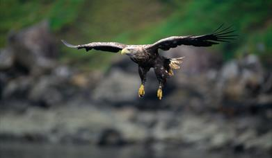 White Tailed Sea Eagle-Rhenigidale