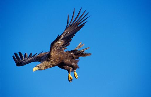 White Tailed Sea Eagle-Loch Bee
