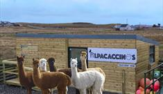 Callanish Alpacas and Alpacaccinos Cafe