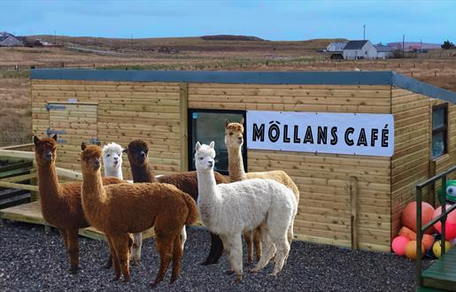 Callanish Alpacas and Mollans Café