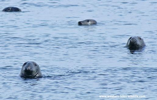 Grey Seal-Ardvule