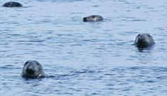 Grey Seal- Stornoway Harbour
