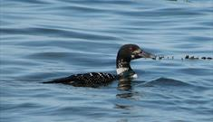 Great Northern Diver-Berneray