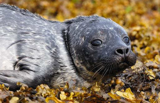 Common Seal-Rubha Ardvule