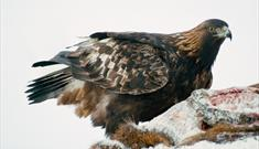 Golden Eagle-Lochmaddy