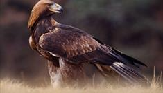 Golden Eagle-Griminish