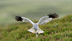 Hen Harrier-Reuval