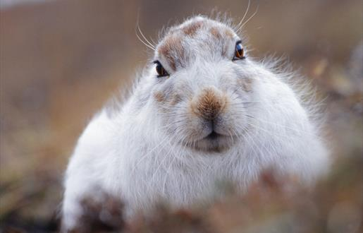 Mountain Hare-Toddun