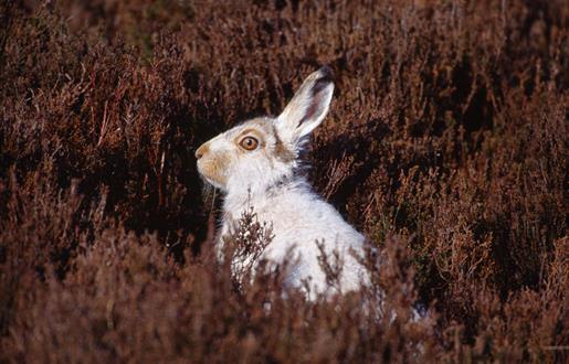 Mountain Hare-An Cliseam