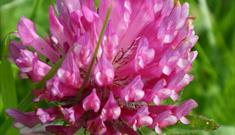 Red Clover- Garry Beach