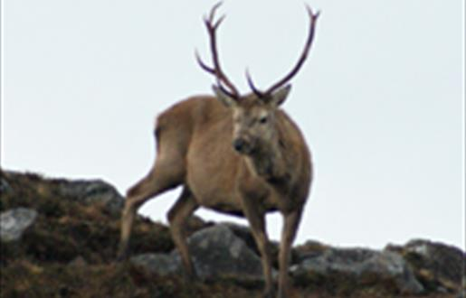 Red Deer-Barpa Langass