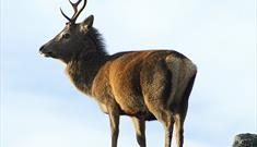 Red Deer-Glen Langadail