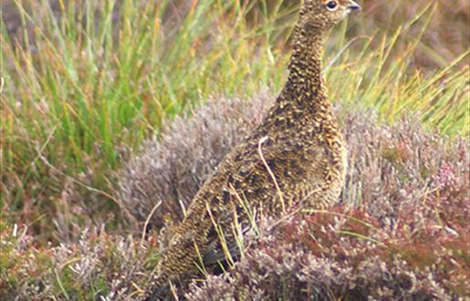 Red Grouse-Snishival