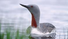 Red Throated Diver-Loch Eynort