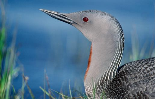 Red Throated Diver-Lochmaddy Bay