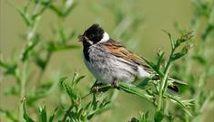 Reed Bunting-Loch Stilligarry