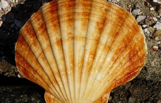 Hebridean Hand-Dived Scallops