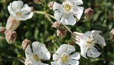Sea Campion-Mangurstadh Head