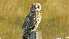Short Eared Owl-Committee Road
